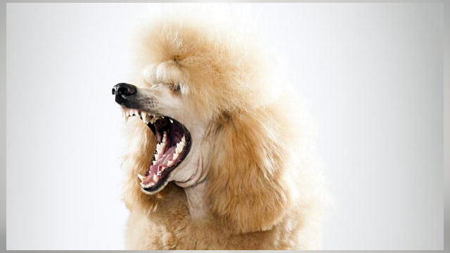 640x360 > Poodle Wallpapers