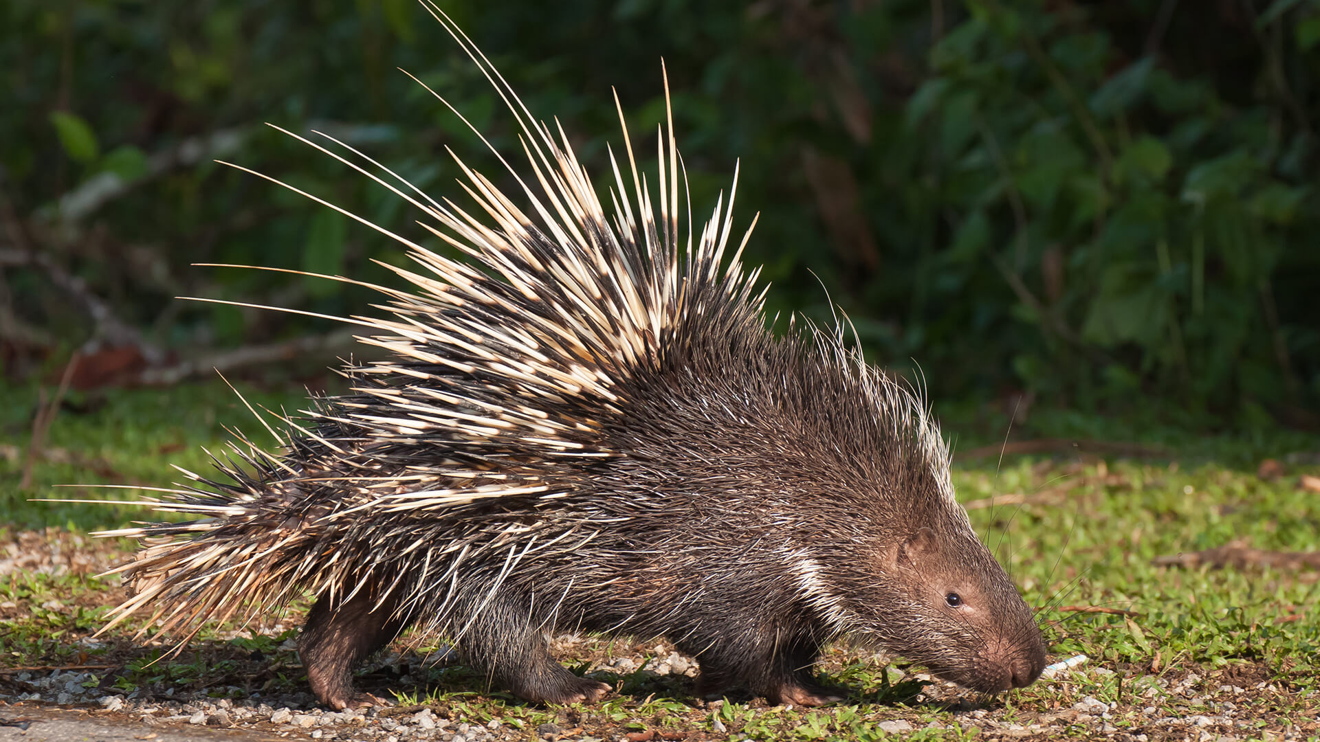 HD Quality Wallpaper | Collection: Animal, 1920x1080 Porcupine