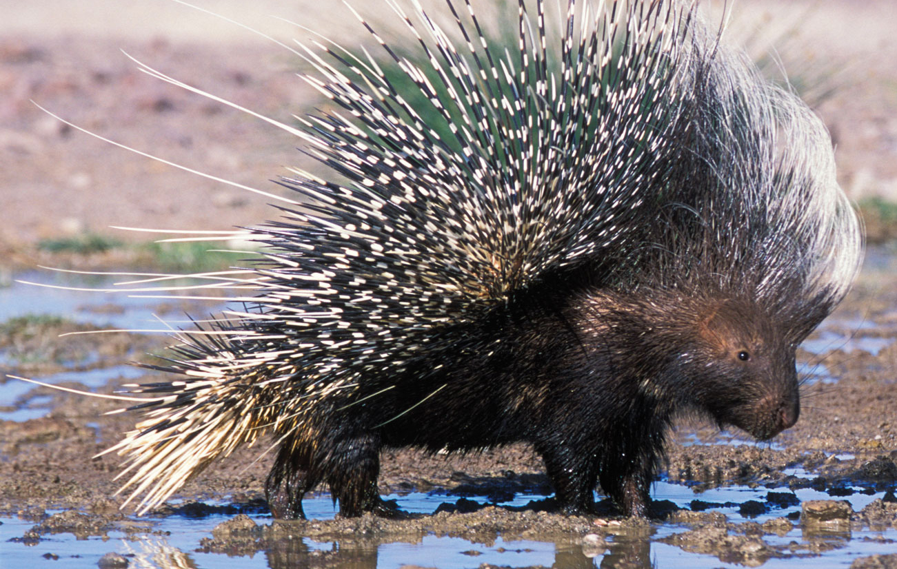 Nice wallpapers Porcupine 1301x826px
