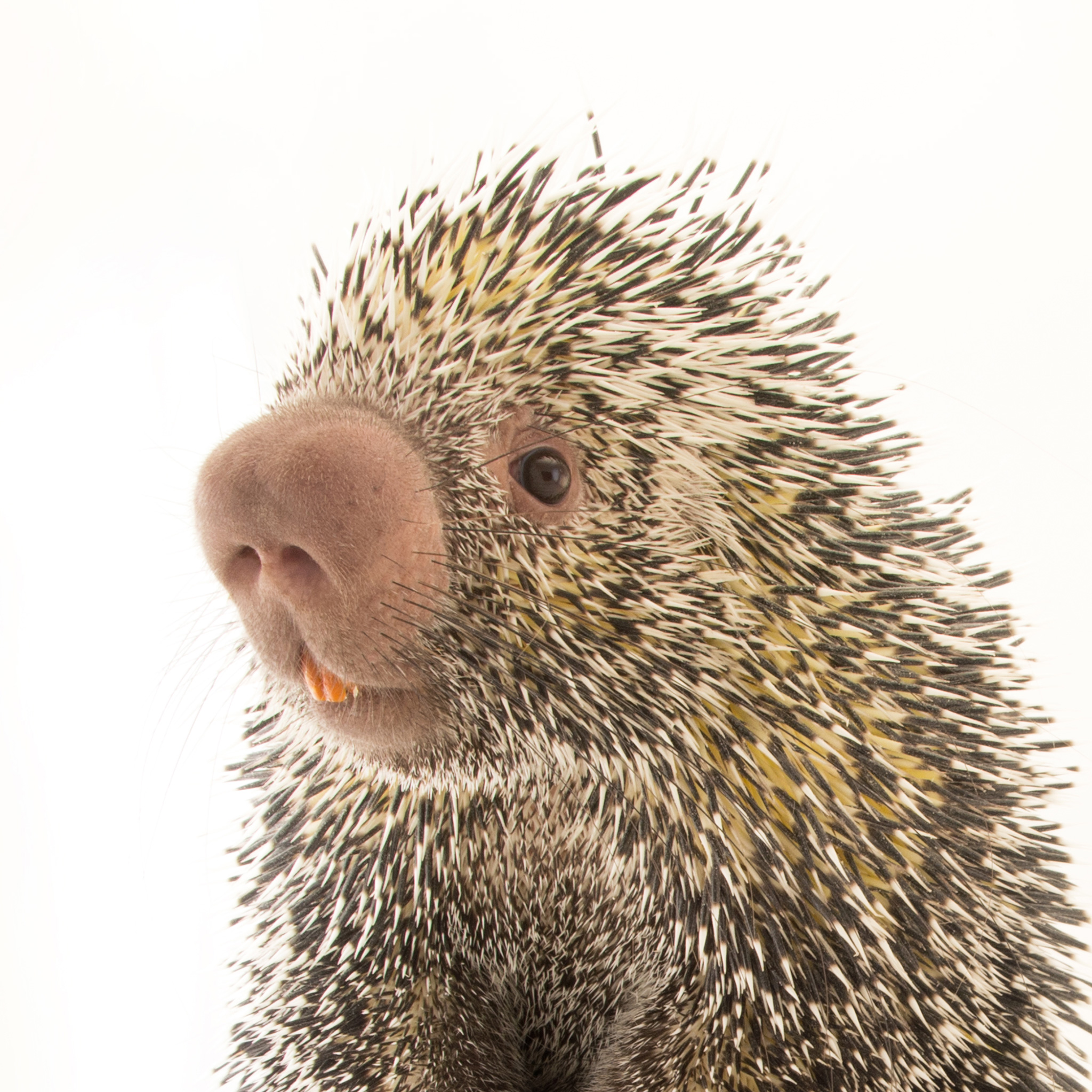 Porcupine High Quality Background on Wallpapers Vista