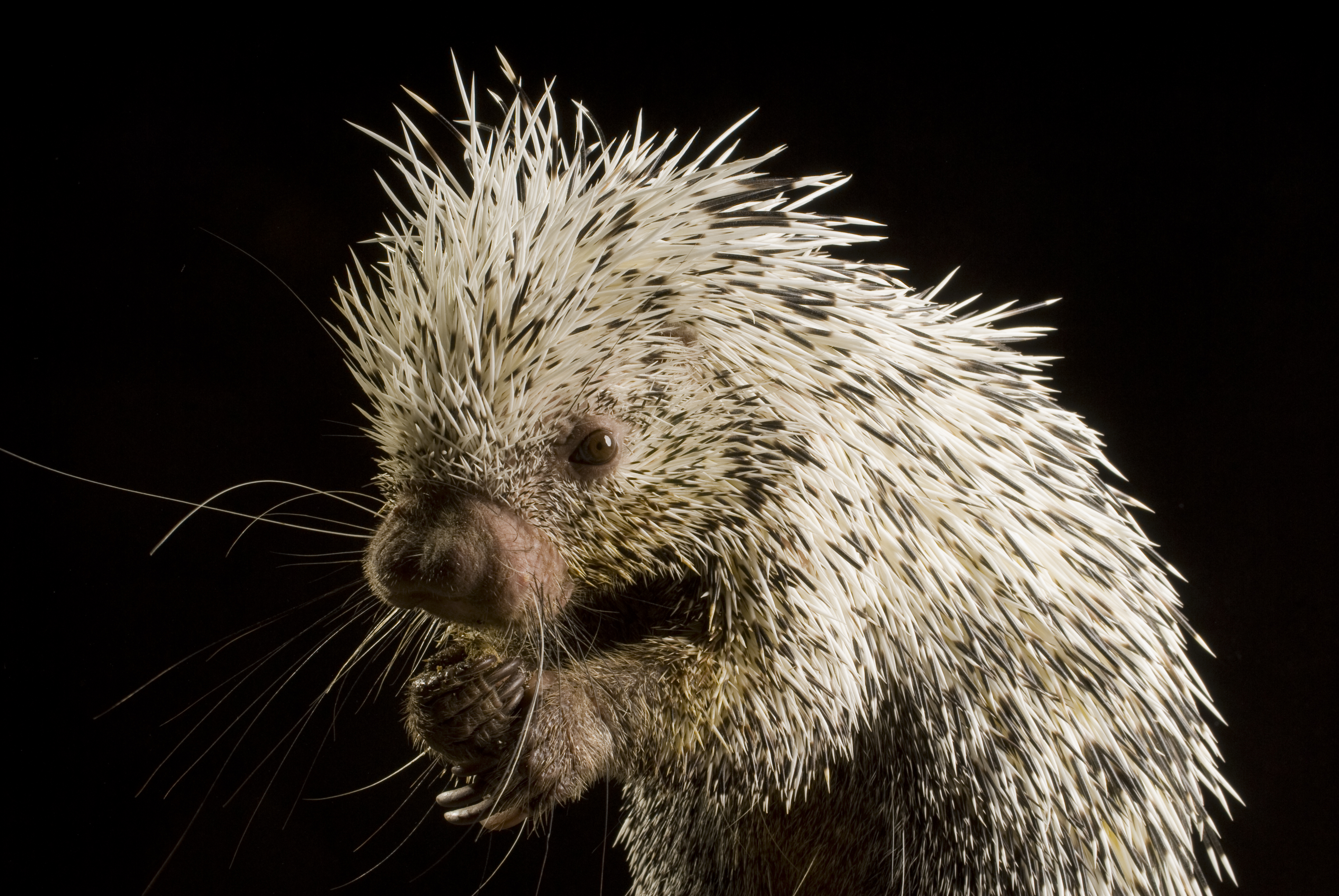 Amazing Porcupine Pictures & Backgrounds