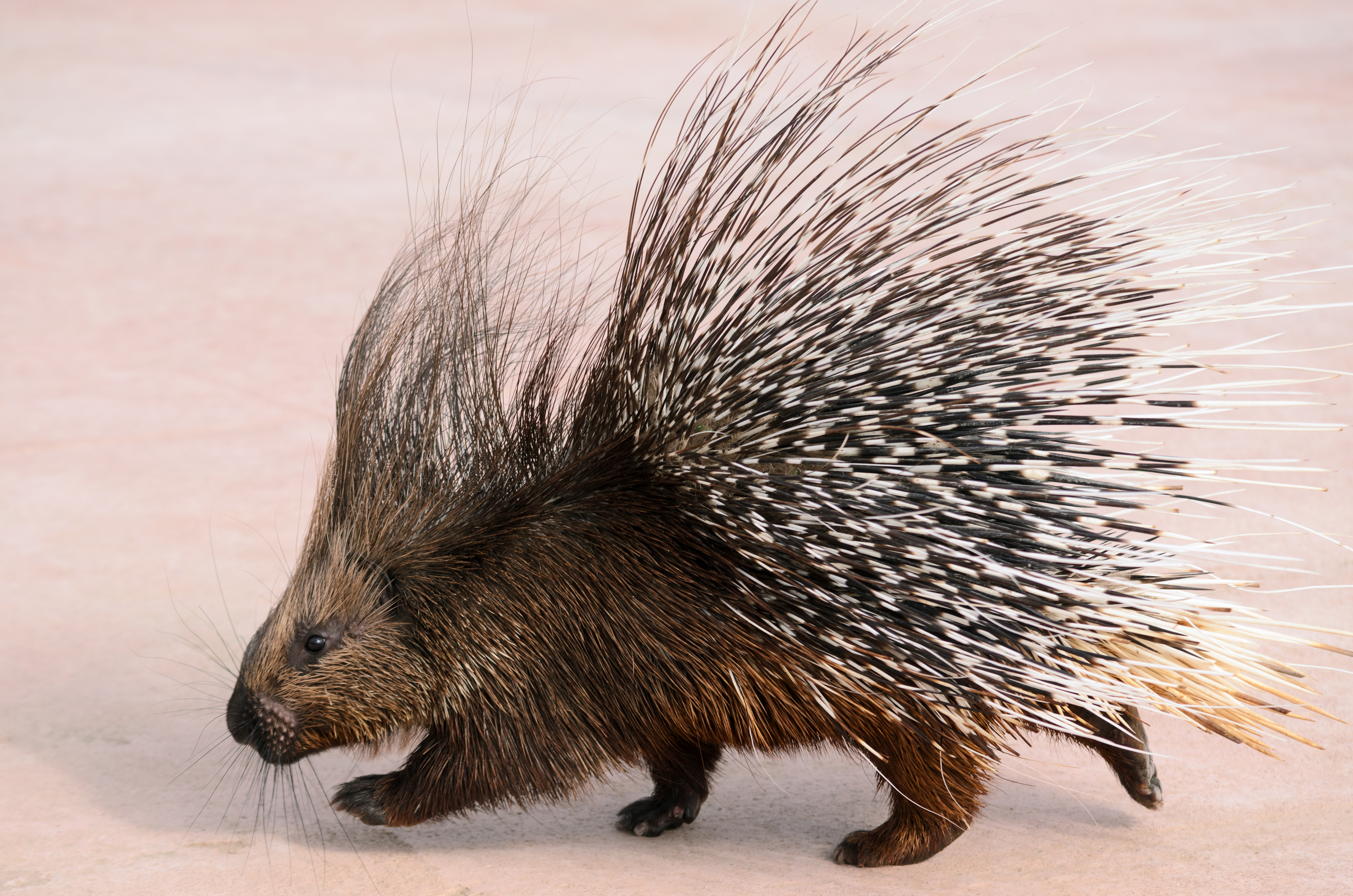 Nice wallpapers Porcupine 4928x3264px
