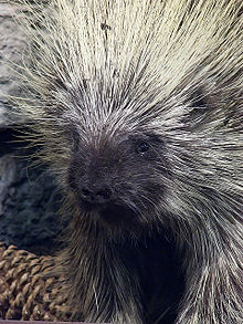 Nice Images Collection: Porcupine Desktop Wallpapers