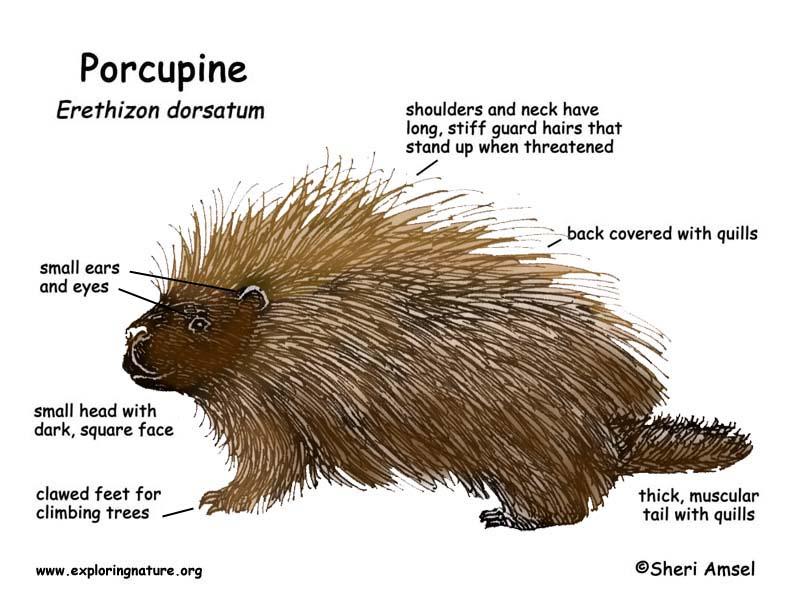 Porcupine Backgrounds on Wallpapers Vista