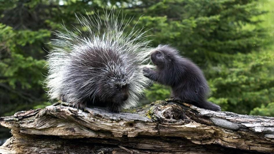945x531 > Porcupine Wallpapers