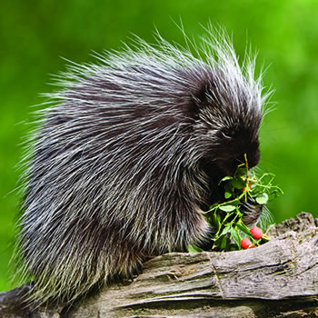 HD Quality Wallpaper | Collection: Animal, 350x350 Porcupine