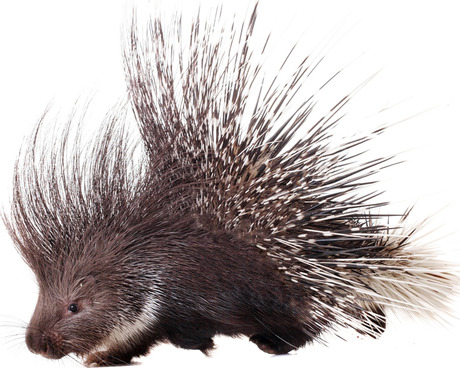 460x368 > Porcupine Wallpapers