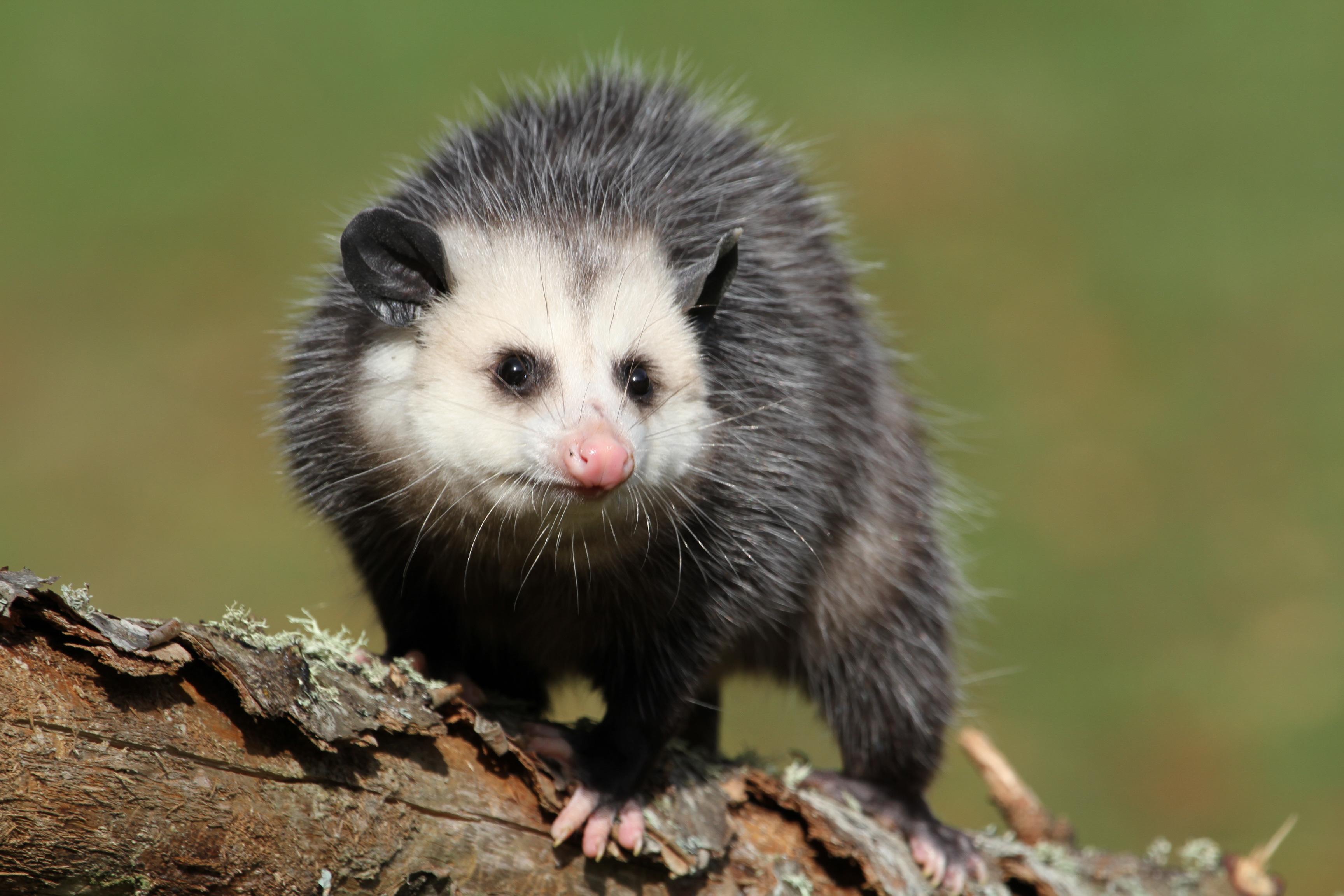 Nice Images Collection: Possum Desktop Wallpapers