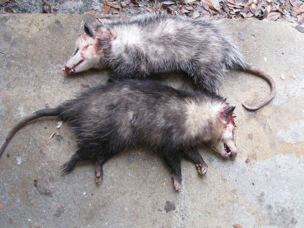 620x465 > Possum Wallpapers