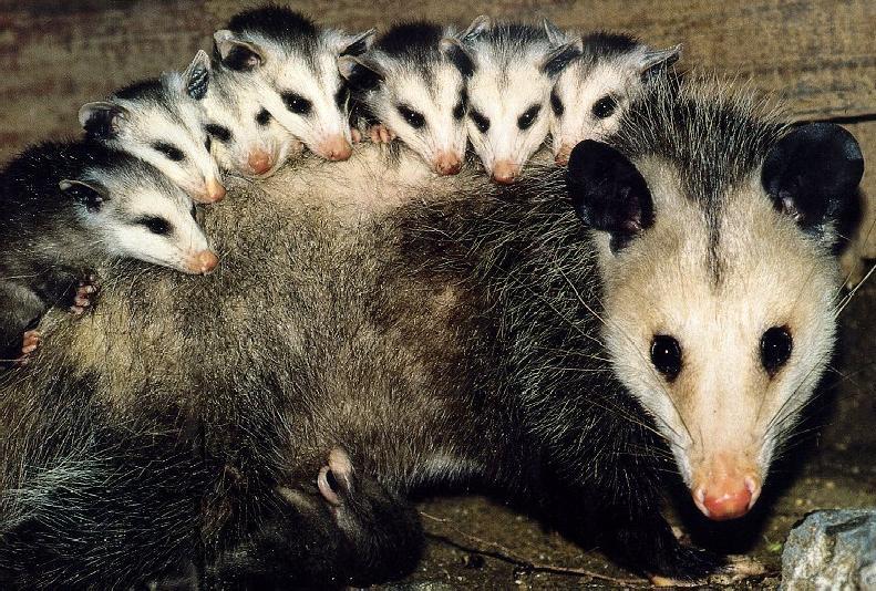 Possum Backgrounds on Wallpapers Vista