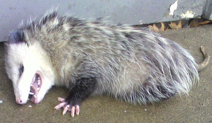 HD Quality Wallpaper   Collection: Animal, 873x506 Possum