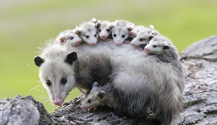 Amazing Possum Pictures & Backgrounds