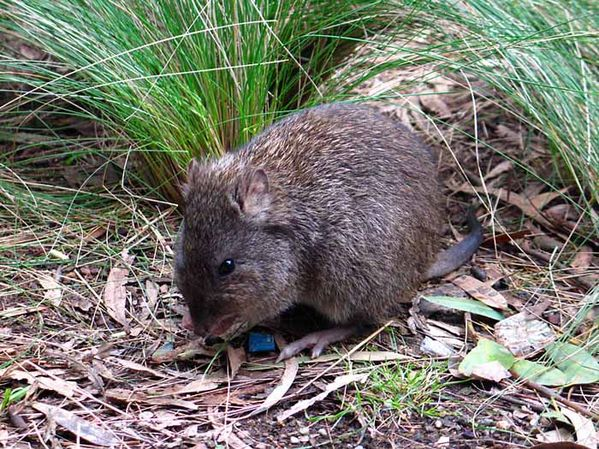 Amazing Potoroo Pictures & Backgrounds