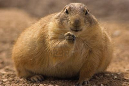 Prairie Dog High Quality Background on Wallpapers Vista
