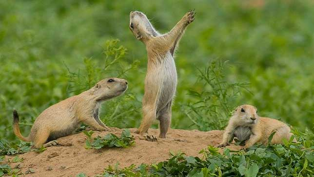 Amazing Prairie Dog Pictures & Backgrounds