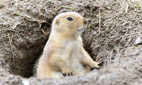 Prairie Dog Pics, Animal Collection