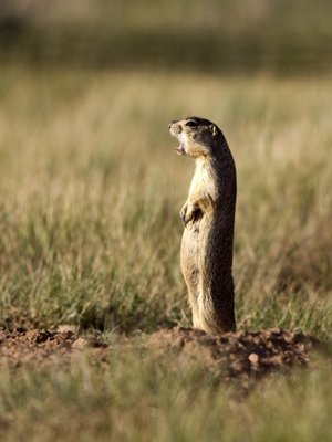 Prairie Dog Backgrounds on Wallpapers Vista