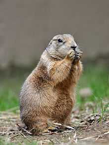 Nice Images Collection: Prairie Dog Desktop Wallpapers
