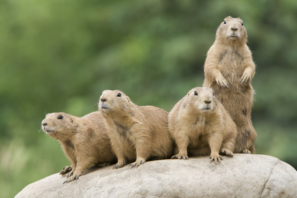 Images of Prairie Dog | 1000x667