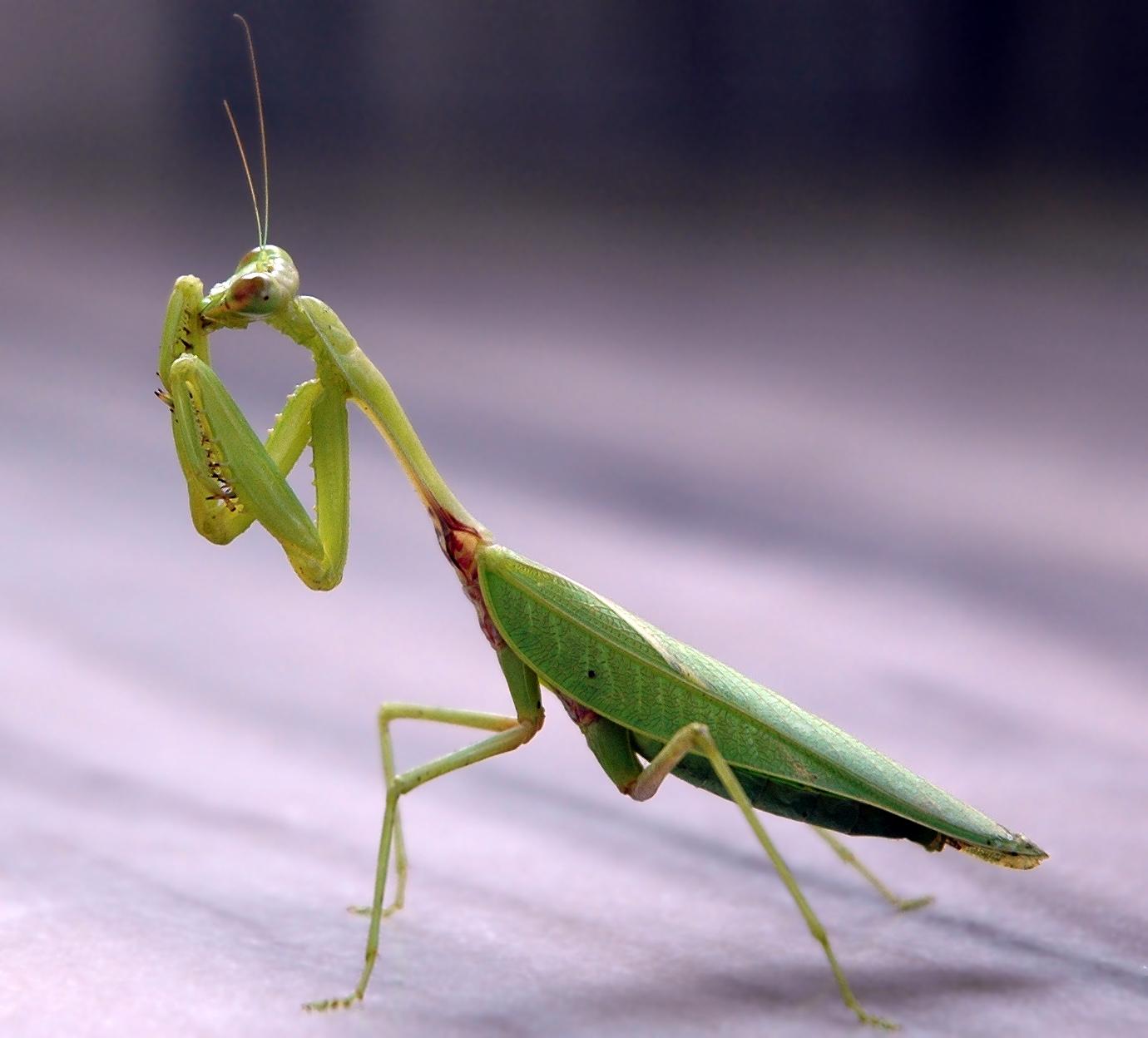 Praying Mantis High Quality Background on Wallpapers Vista