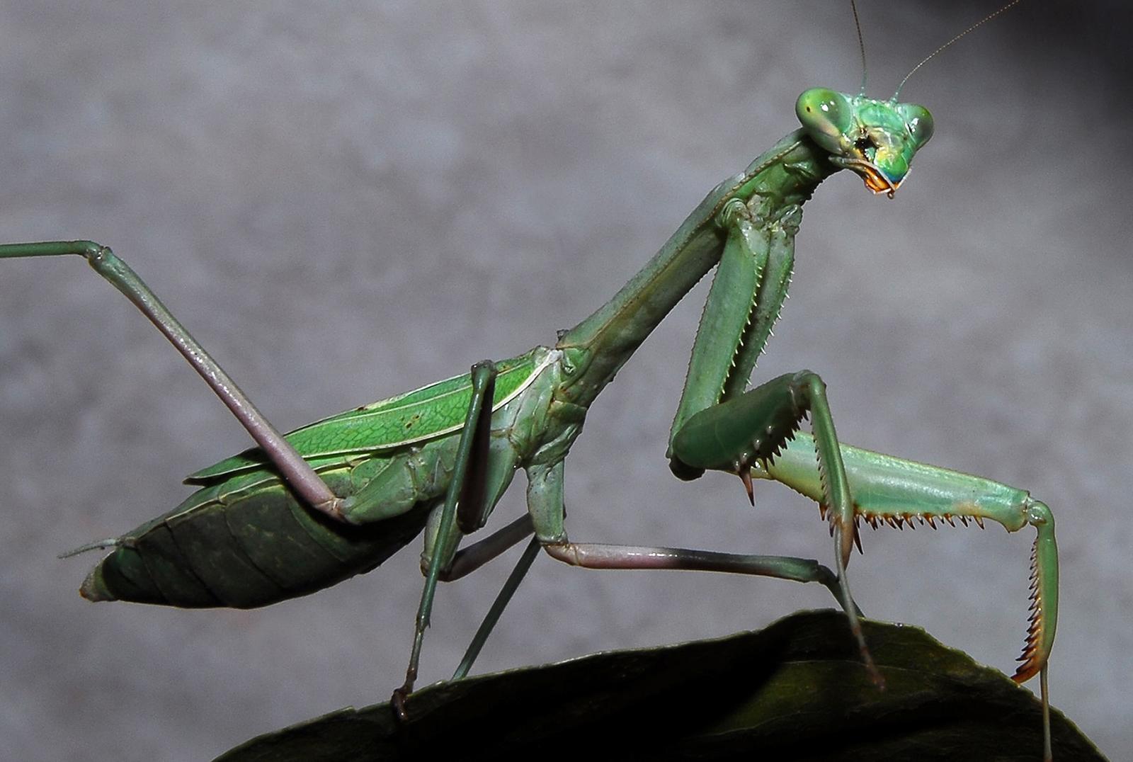 Praying Mantis Pics, Animal Collection