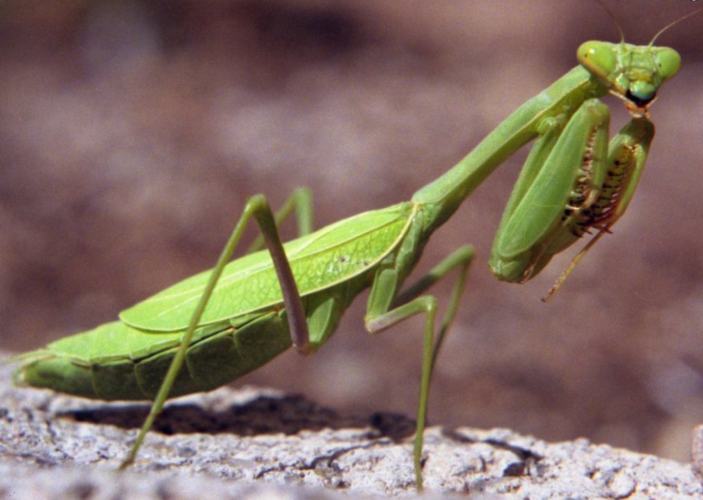 Nice Images Collection: Praying Mantis Desktop Wallpapers