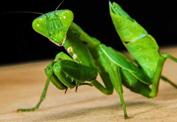 Praying Mantis Backgrounds on Wallpapers Vista