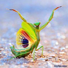 Images of Praying Mantis | 236x236