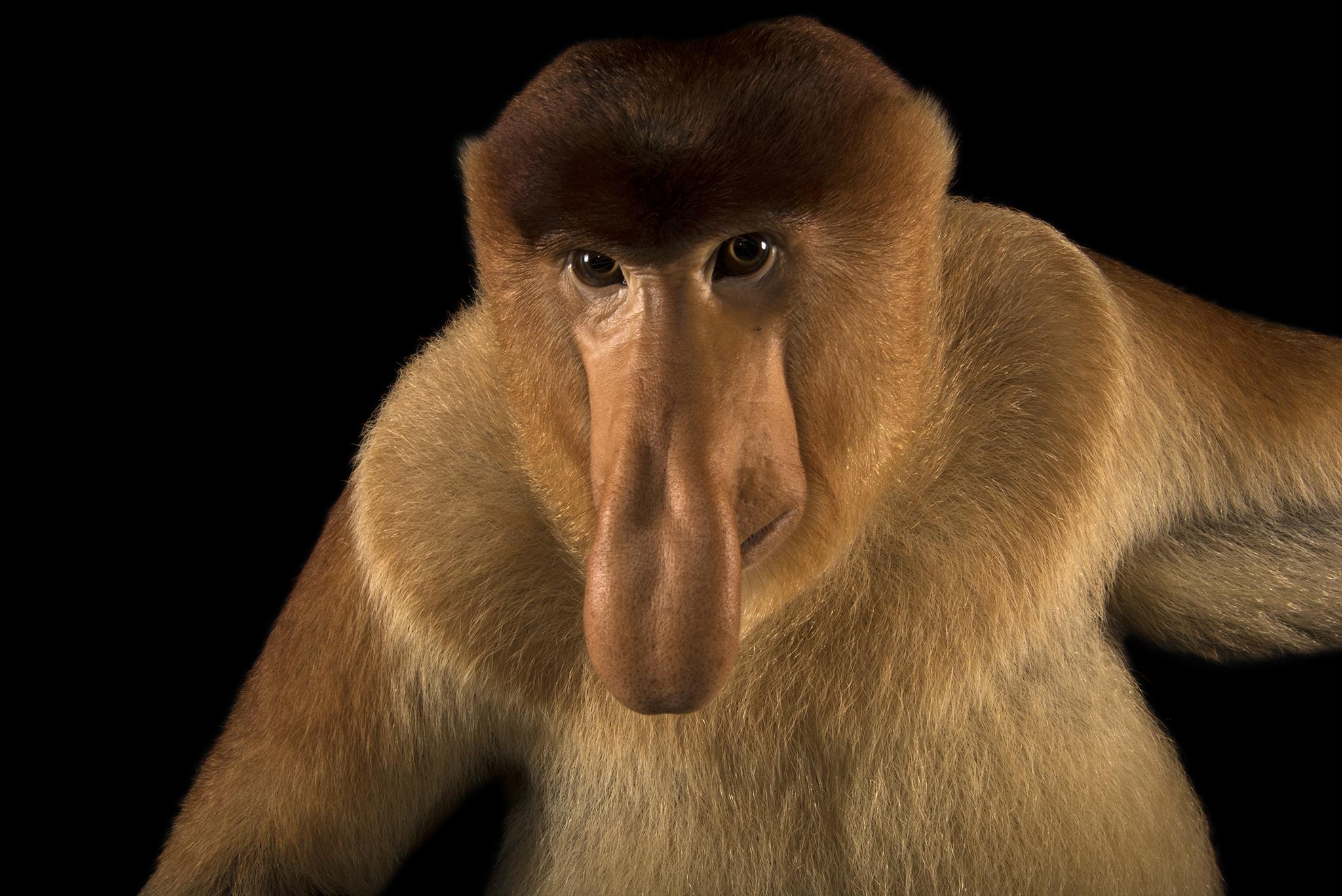 HQ Proboscis Monkey Wallpapers | File 1660.01Kb