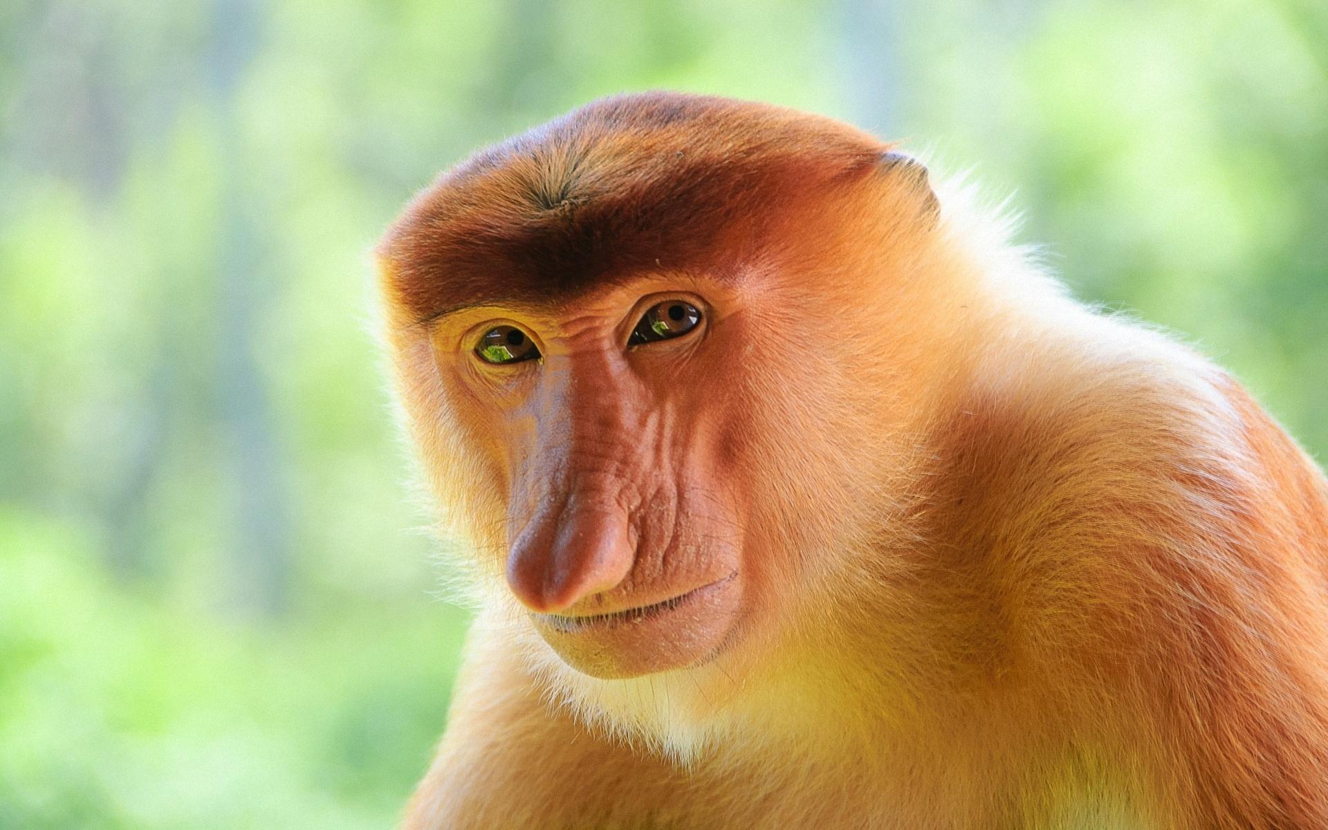 1920x1200 > Proboscis Monkey Wallpapers
