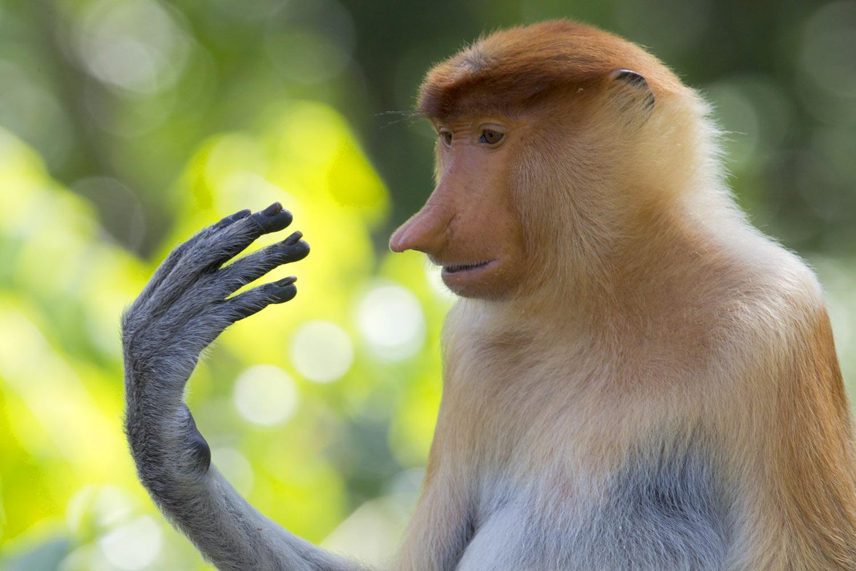 1500x1000 > Proboscis Monkey Wallpapers