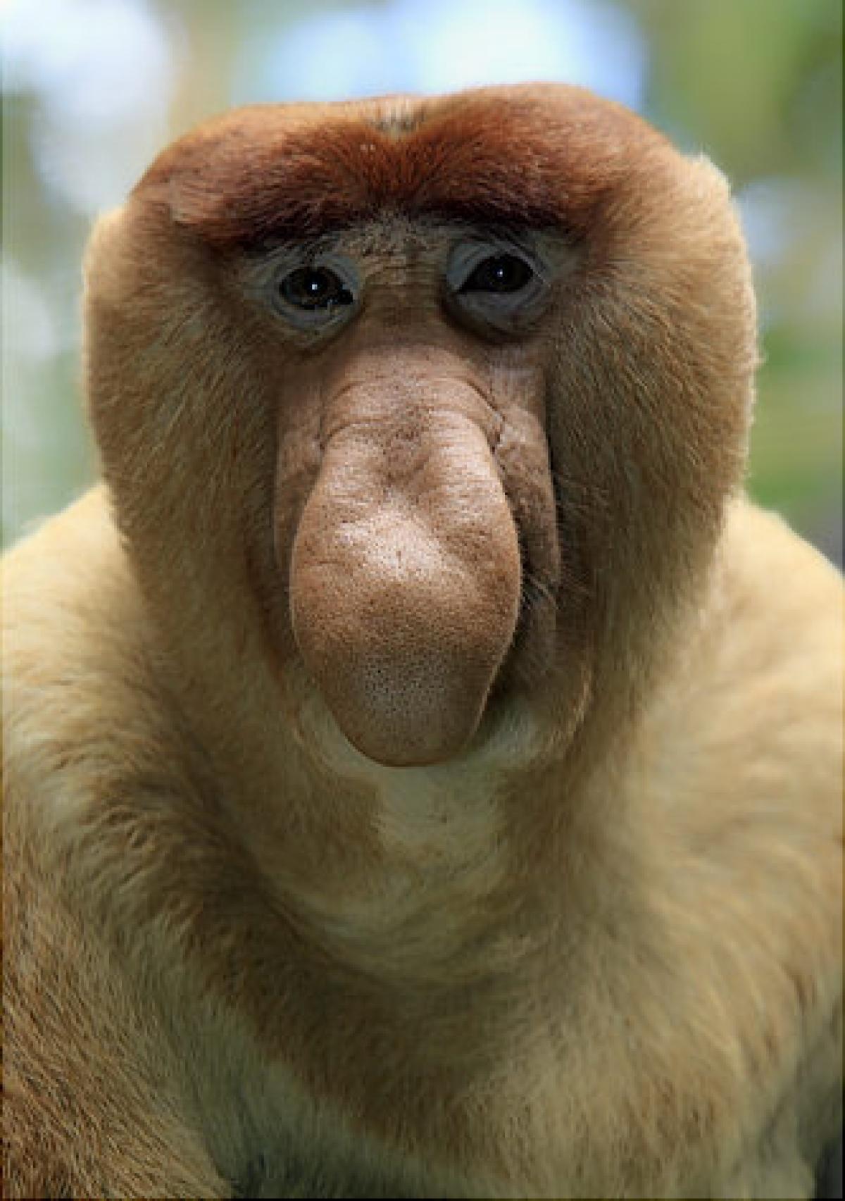 Proboscis Monkey Pics, Animal Collection