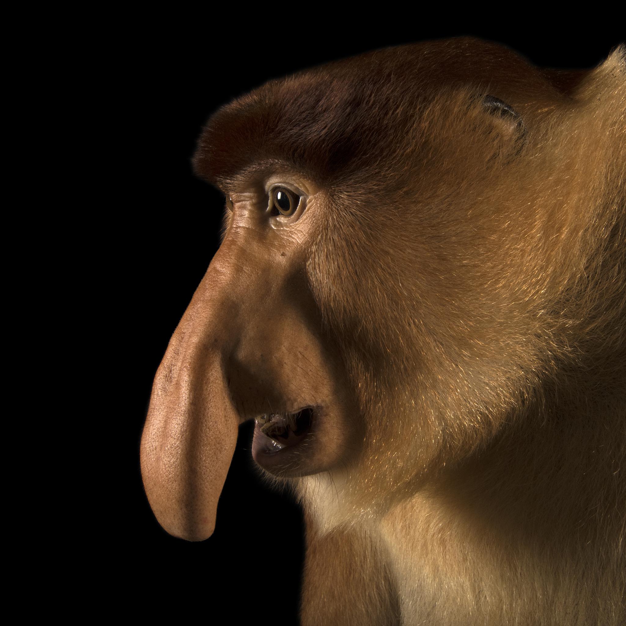 Proboscis Monkey Backgrounds, Compatible - PC, Mobile, Gadgets| 2048x2048 px