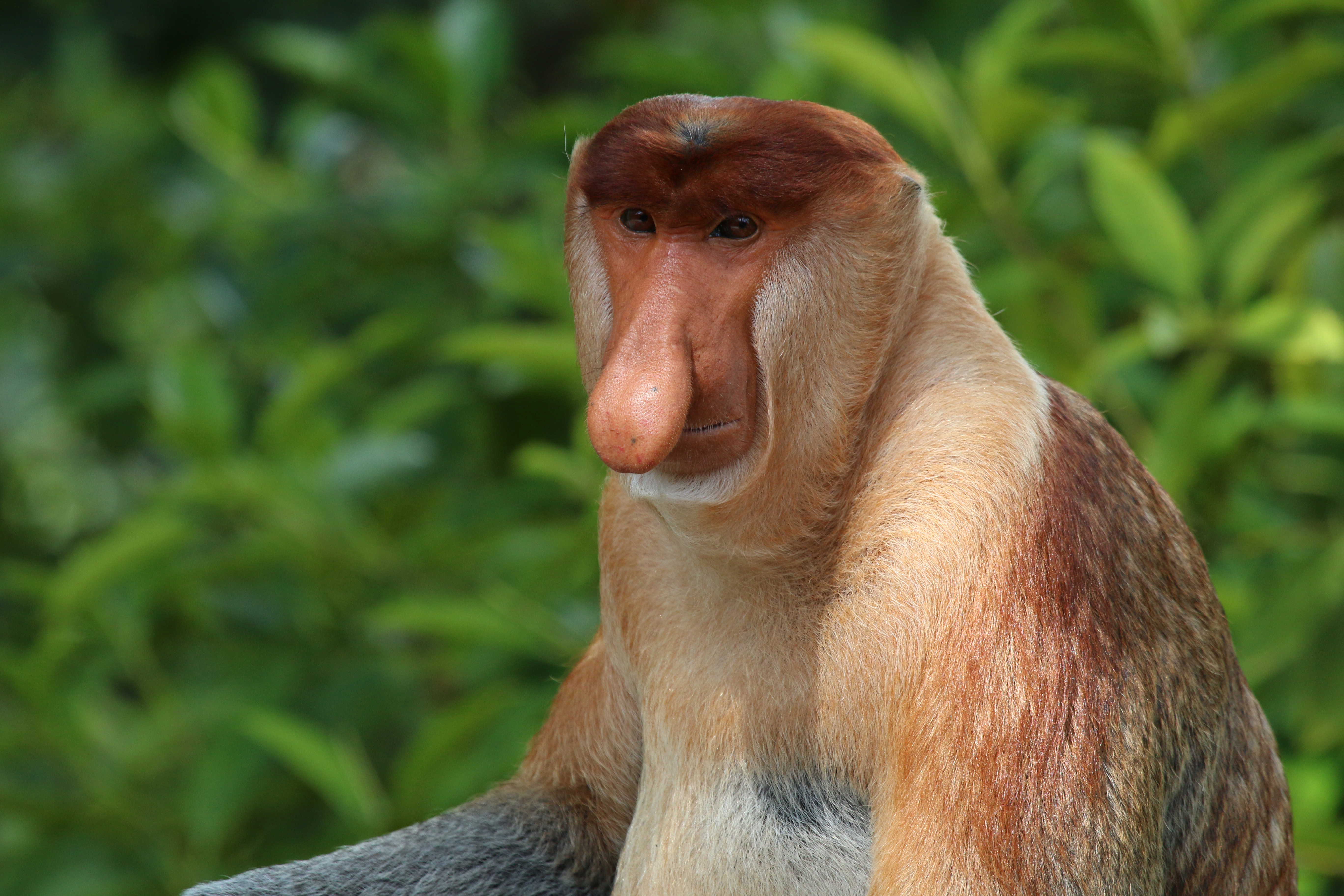 Nice Images Collection: Proboscis Monkey Desktop Wallpapers