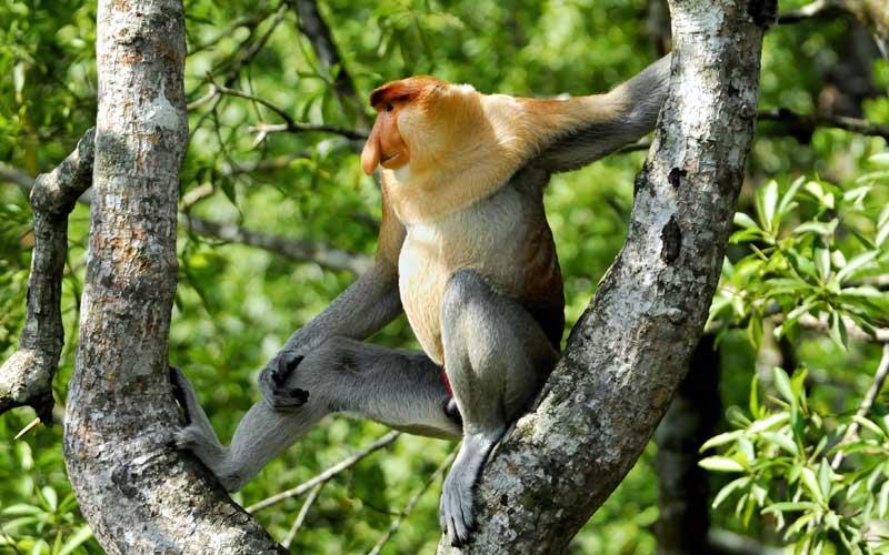 800x500 > Proboscis Monkey Wallpapers