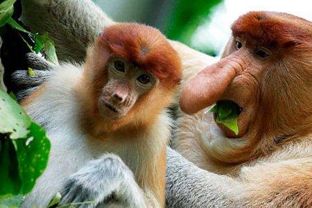 Images of Proboscis Monkey | 450x300