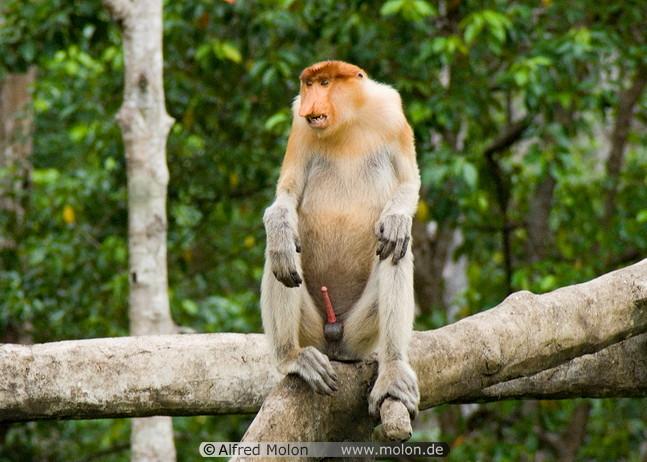 Nice wallpapers Proboscis Monkey 647x462px