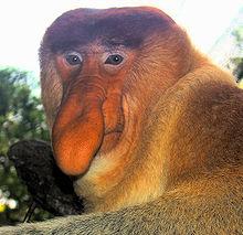 HD Quality Wallpaper | Collection: Animal, 220x213 Proboscis Monkey