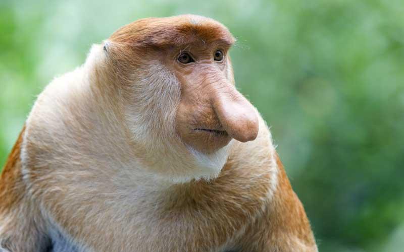 Proboscis Monkey High Quality Background on Wallpapers Vista