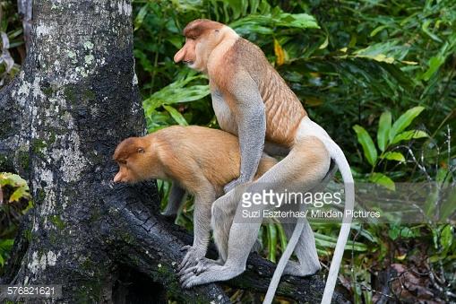 Proboscis Monkey Backgrounds on Wallpapers Vista