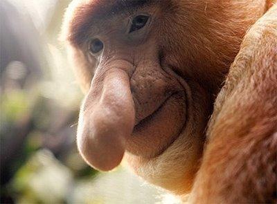 400x295 > Proboscis Monkey Wallpapers