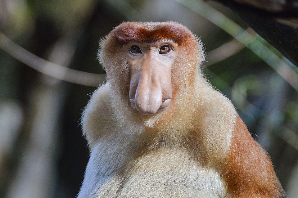High Resolution Wallpaper | Proboscis Monkey 960x638 px