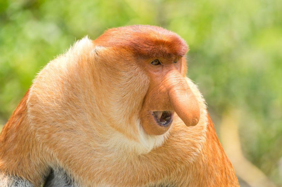 Amazing Proboscis Monkey Pictures & Backgrounds