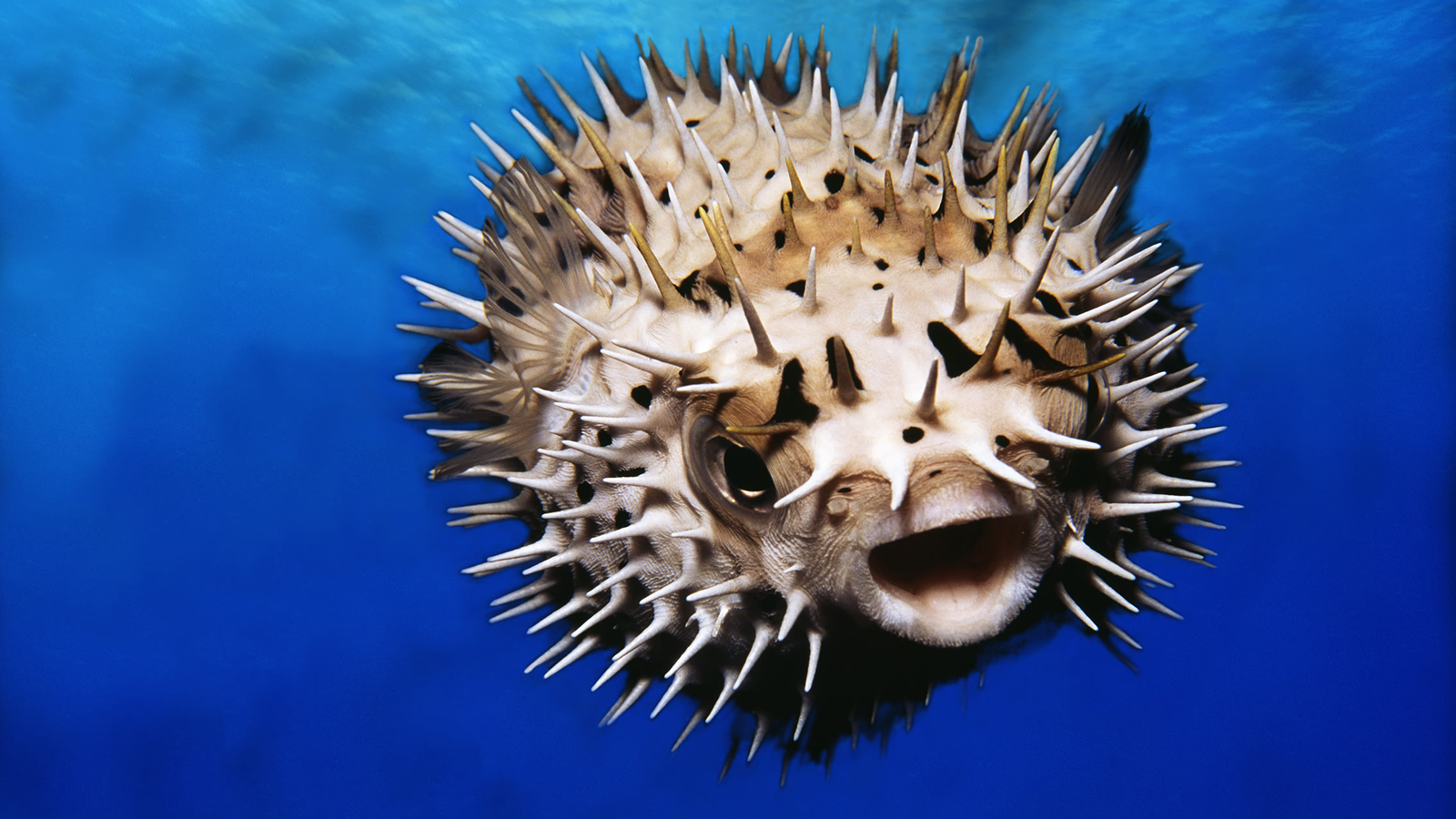 Pufferfish Backgrounds on Wallpapers Vista