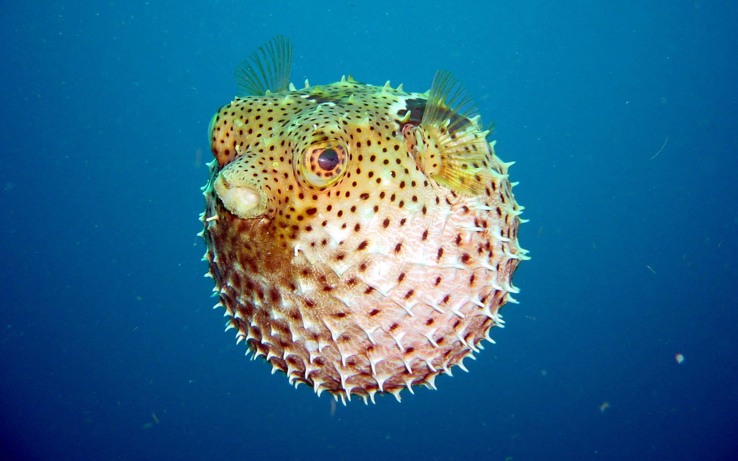 2560x1600 > Pufferfish Wallpapers