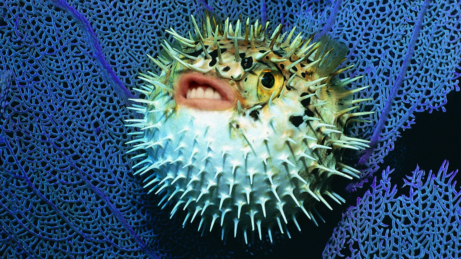 High Resolution Wallpaper   Pufferfish 1920x1080 px