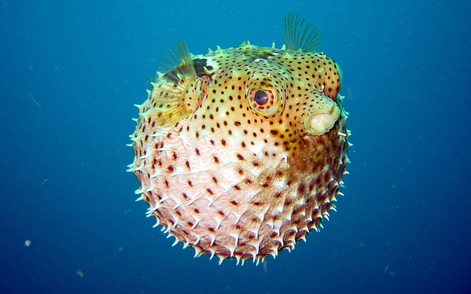 Images of Pufferfish | 1920x1200