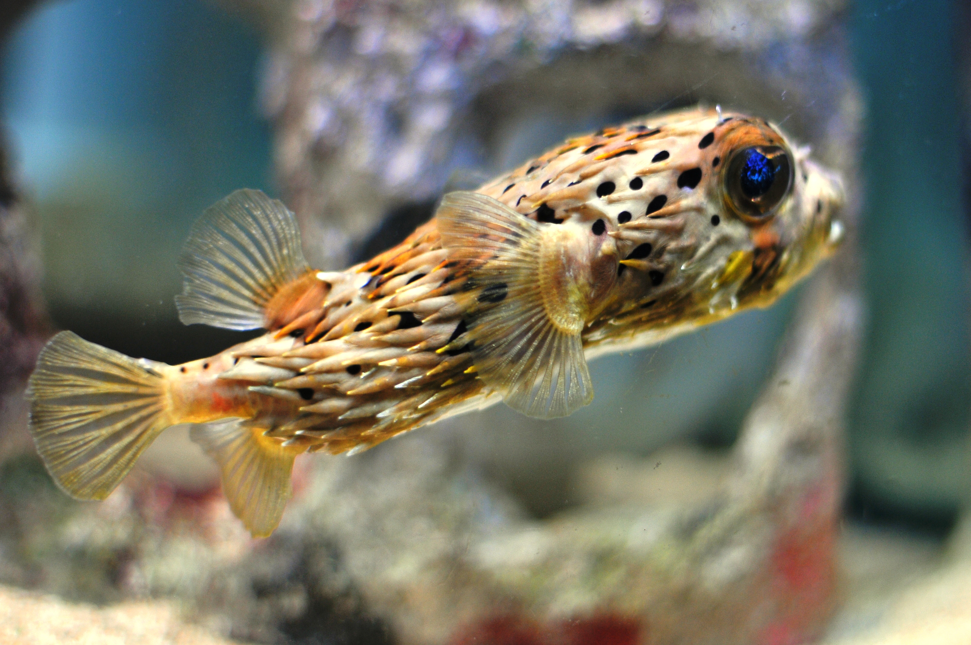 HD Quality Wallpaper | Collection: Animal, 3216x2136 Pufferfish