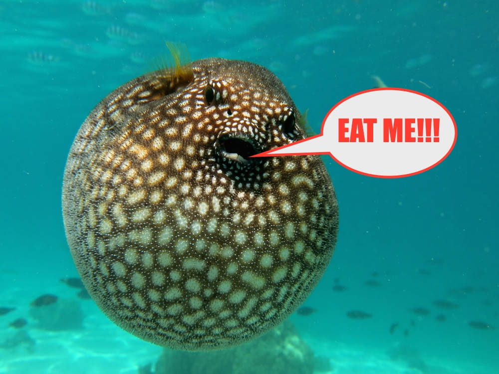 Pufferfish Backgrounds, Compatible - PC, Mobile, Gadgets| 1000x750 px