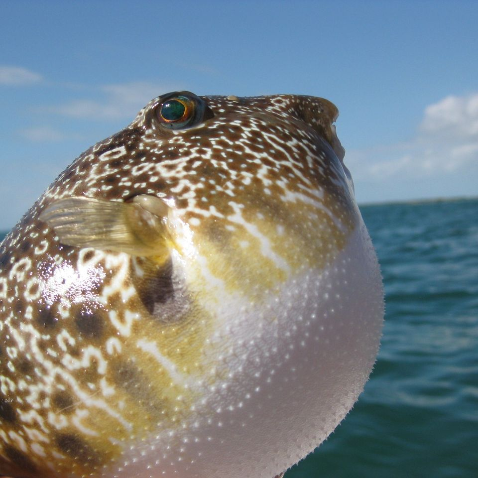 Nice Images Collection: Pufferfish Desktop Wallpapers